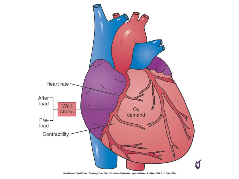 FIGURE 21–23 Major determinants of the oxygen (O2) demand of the normal heart—heart rate, wall stress, and contractile function.