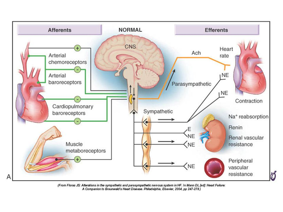 FIGURE 22–2A Mechanisms for generalized sympathetic activation and parasympathetic withdrawal in HF.