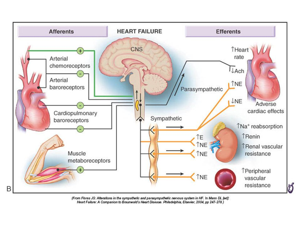 FIGURE 22–2B Mechanisms for generalized sympathetic activation and parasympathetic withdrawal in HF.