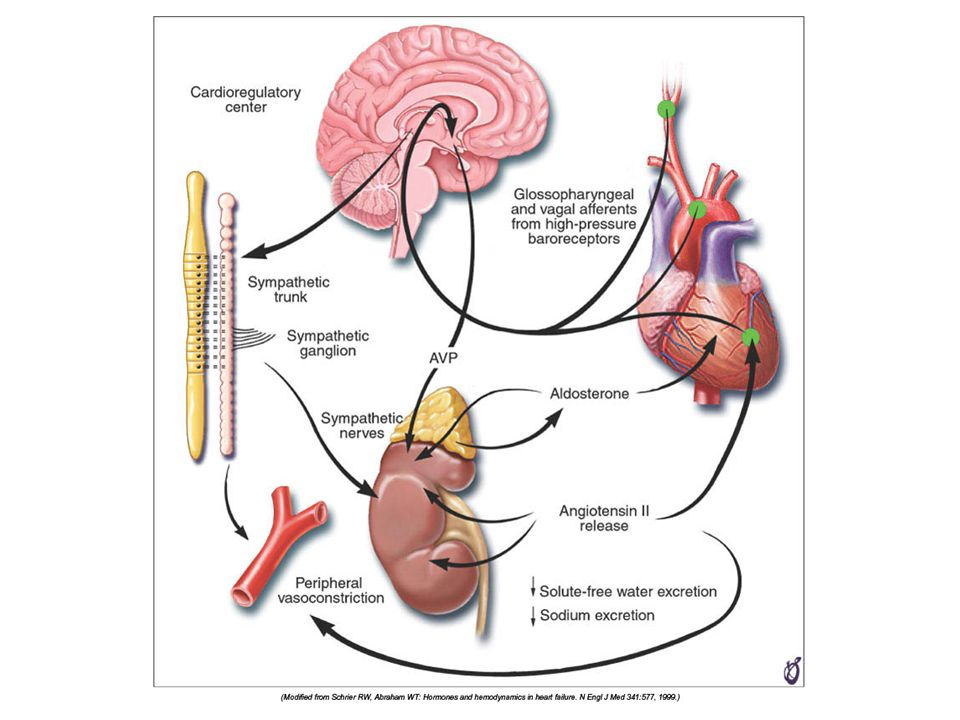 FIGURE 22–6 Unloading of high-pressure baroceptors (circles) in the left ventricle, carotid sinus, and aortic arch generates afferent signals that stimulate cardioregulatory centers in the brain, resulting in the activation of efferent pathways in the sympathetic nervous system.