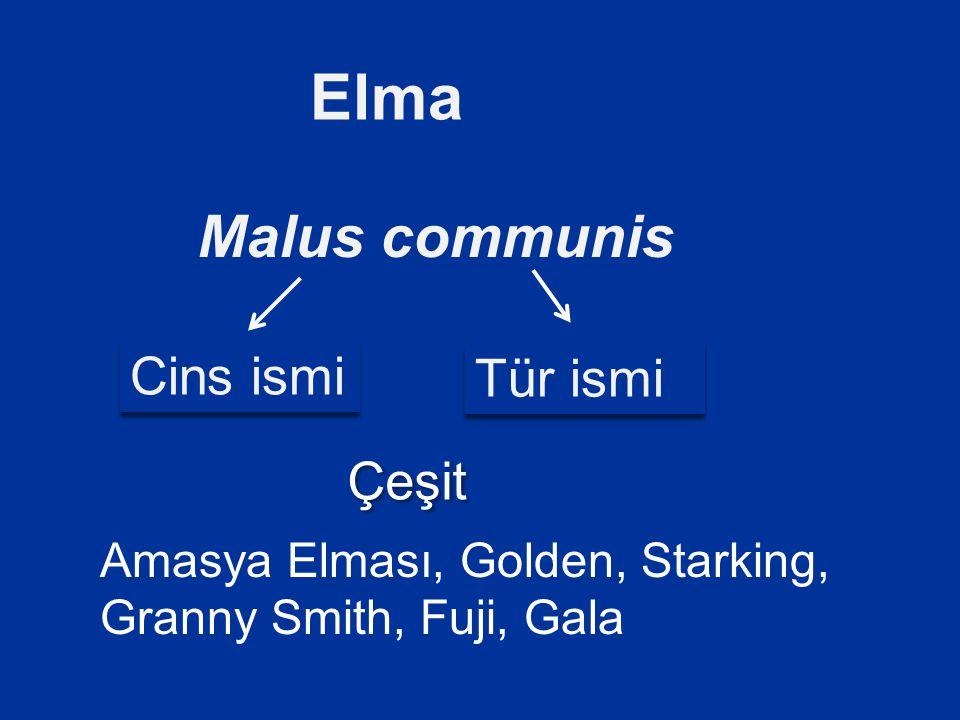 Elma Malus communis Cins ismi Tür ismi Çeşit