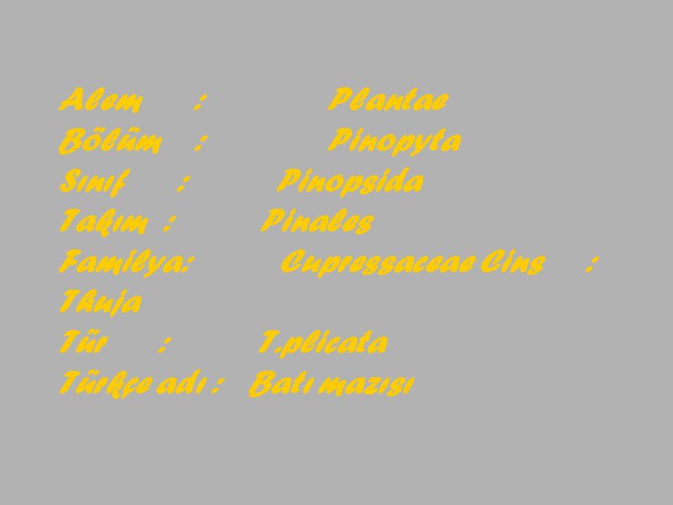 Alem :. Plantae Bölüm :. Pinopyta Sınıf : Pinopsida Takım :
