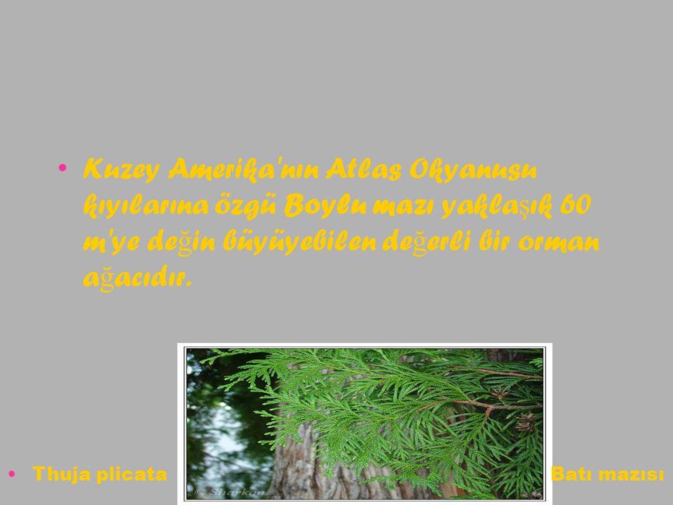Kuzey Amerika nın Atlas Okyanusu kıyılarına özgü Boylu mazı yaklaşık 60 m ye değin büyüyebilen değerli bir orman ağacıdır.