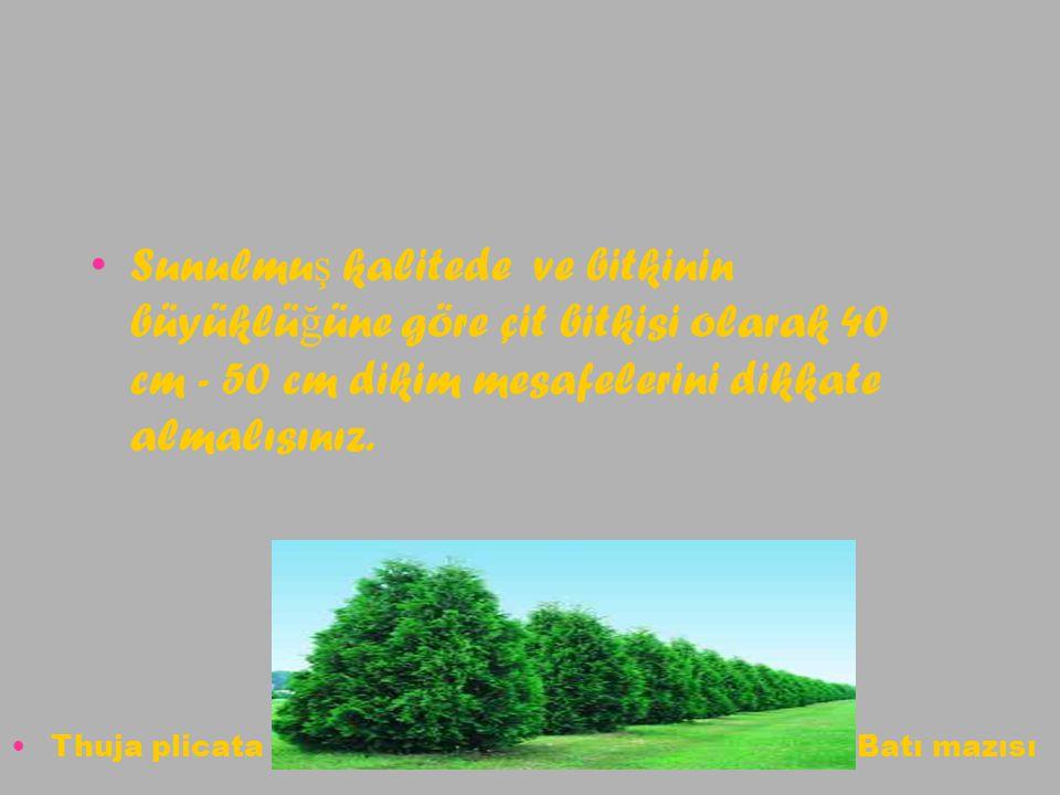 Sunulmuş kalitede ve bitkinin büyüklüğüne göre çit bitkisi olarak 40 cm - 50 cm dikim mesafelerini dikkate almalısınız.