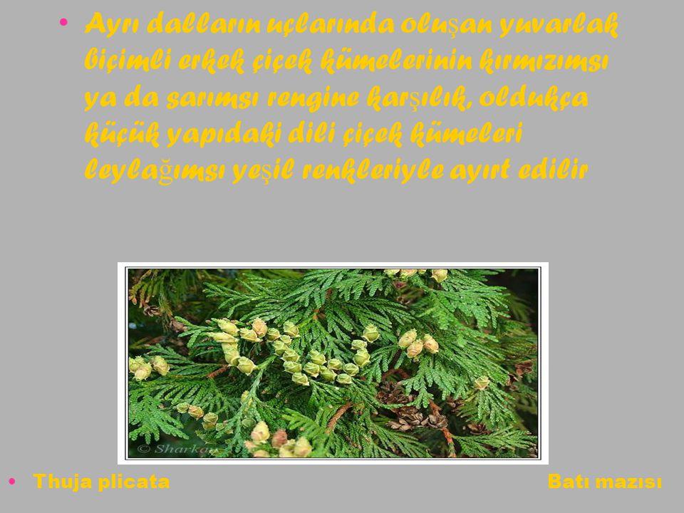 Ayrı dalların uçlarında oluşan yuvarlak biçimli erkek çiçek kümelerinin kırmızımsı ya da sarımsı rengine karşılık, oldukça küçük yapıdaki dili çiçek kümeleri leylağımsı yeşil renkleriyle ayırt edilir