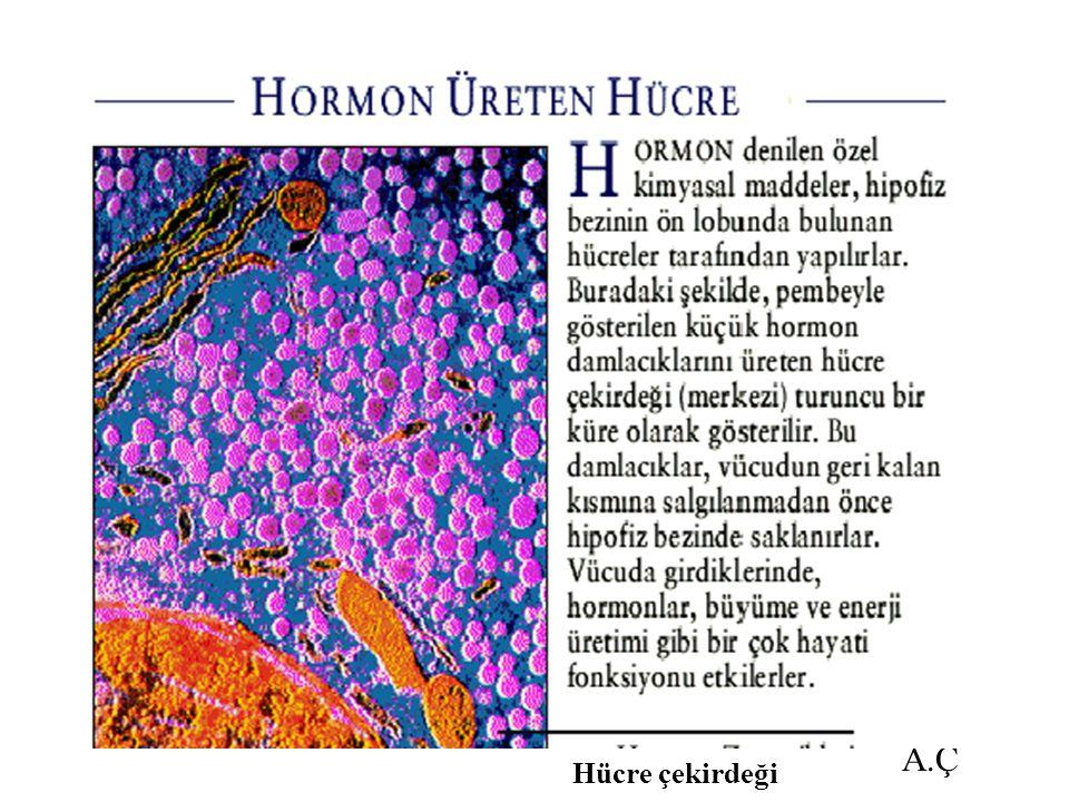 A.Ç Hücre çekirdeği