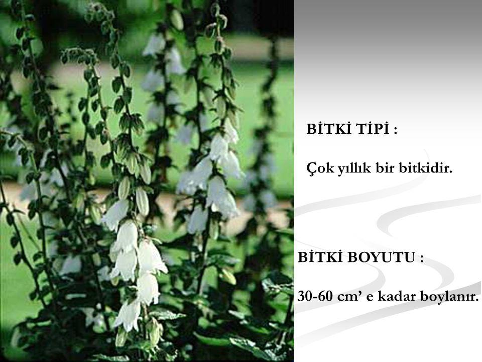 BİTKİ TİPİ : Çok yıllık bir bitkidir. BİTKİ BOYUTU : 30-60 cm' e kadar boylanır.