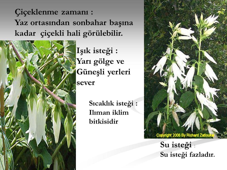 Yaz ortasından sonbahar başına kadar çiçekli hali görülebilir.
