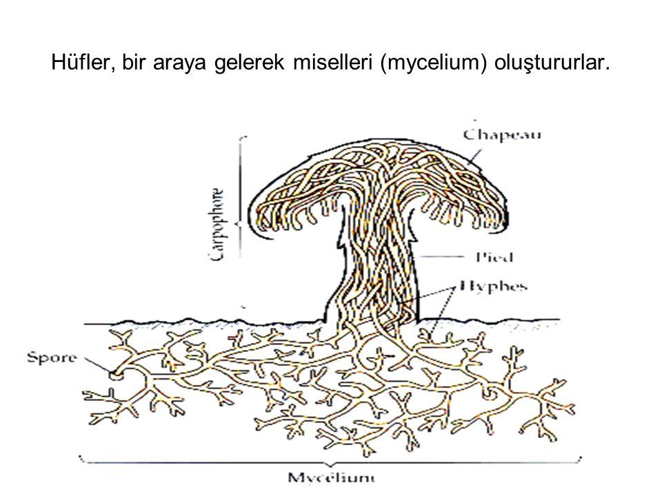 Hüfler, bir araya gelerek miselleri (mycelium) oluştururlar.