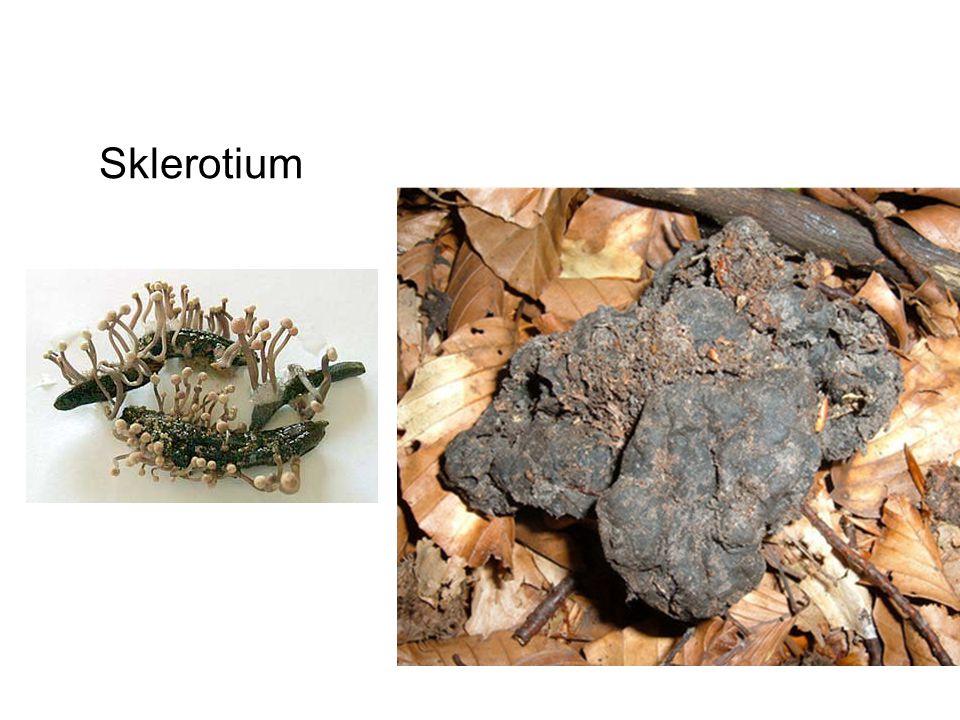 Sklerotium