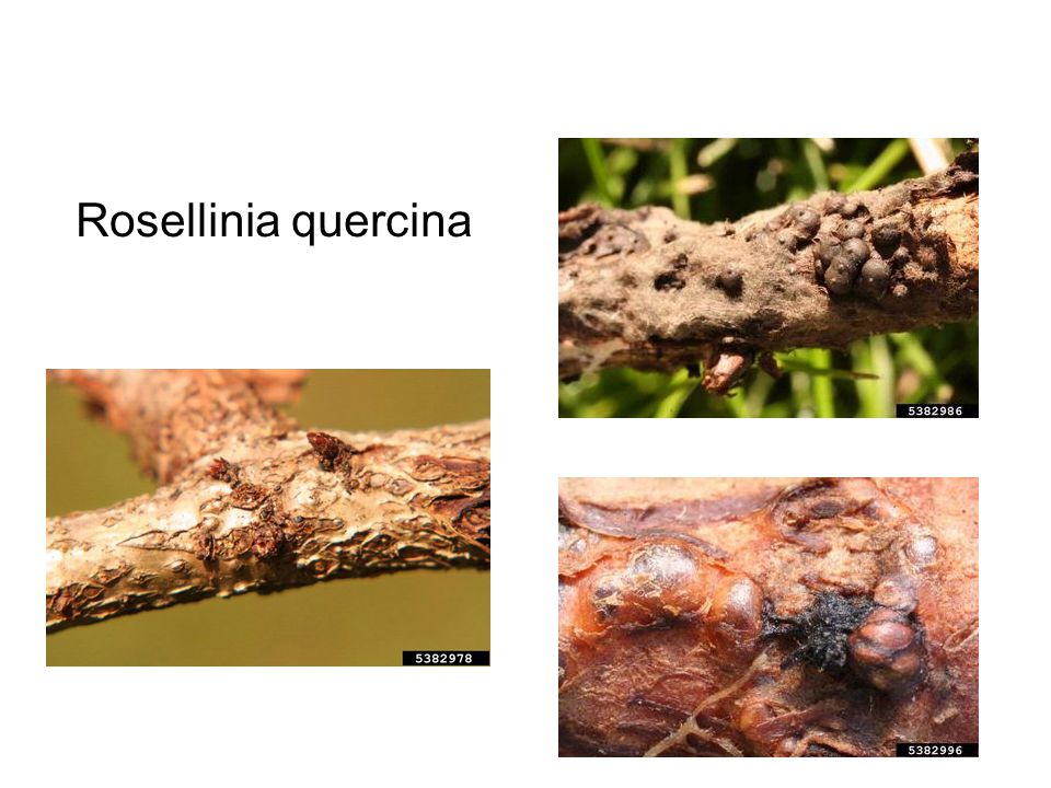 Rosellinia quercina