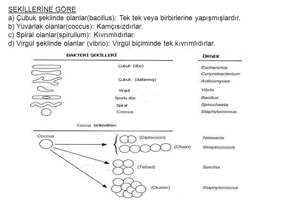 ŞEKİLLERİNE GÖRE a) Çubuk şeklinde olanlar(bacillus): Tek tek veya birbirlerine yapışmışlardır.