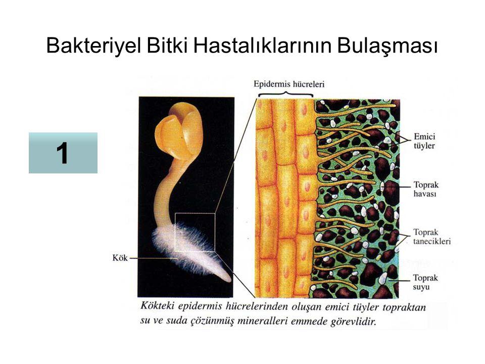 Bakteriyel Bitki Hastalıklarının Bulaşması