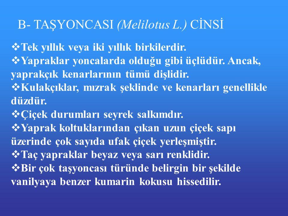 B- TAŞYONCASI (Melilotus L.) CİNSİ