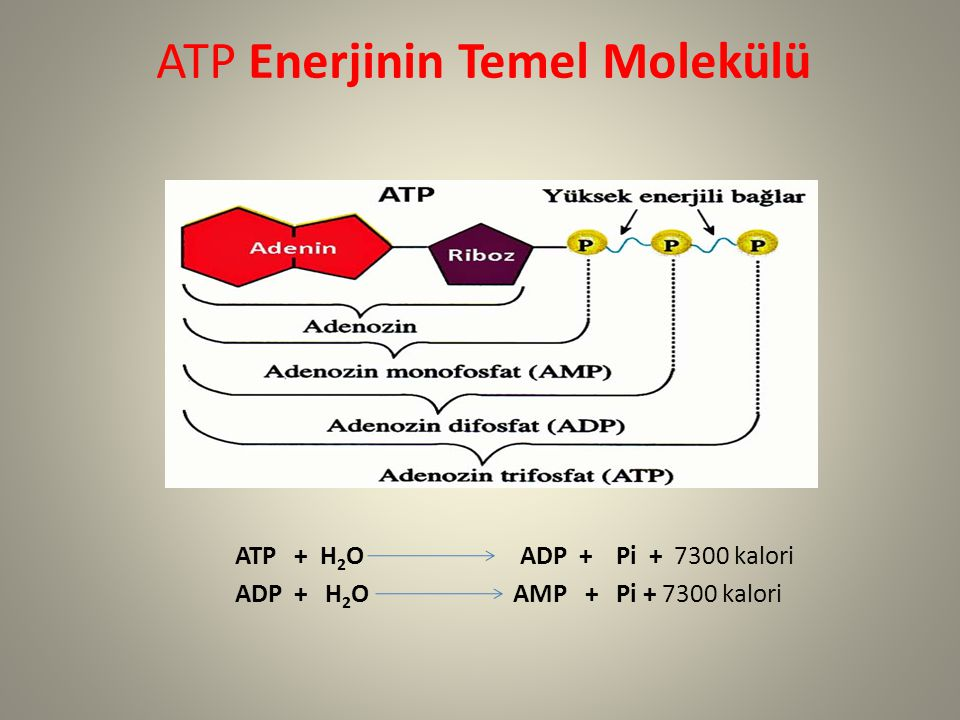 ATP Enerjinin Temel Molekülü