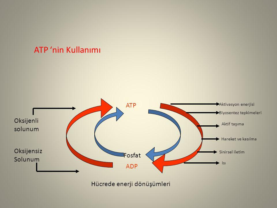 ATP 'nin Kullanımı ATP Oksijenli solunum Oksijensiz Solunum Fosfat ADP
