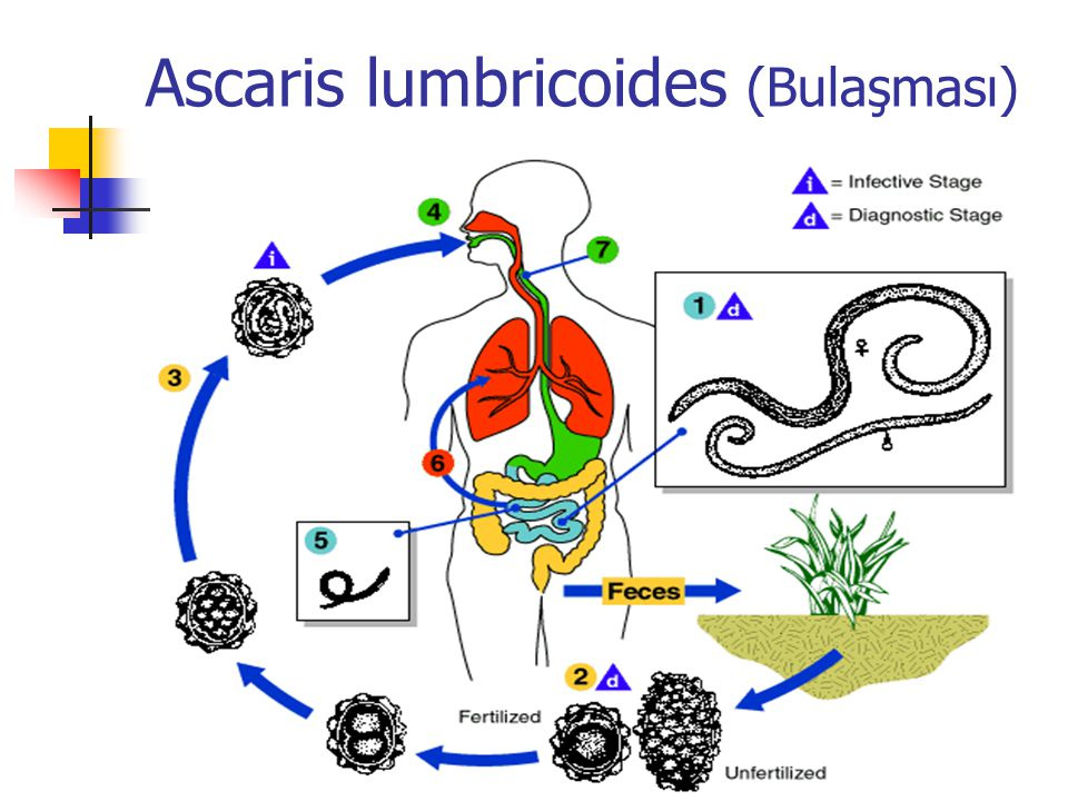 Ascaris lumbricoides (Bulaşması)