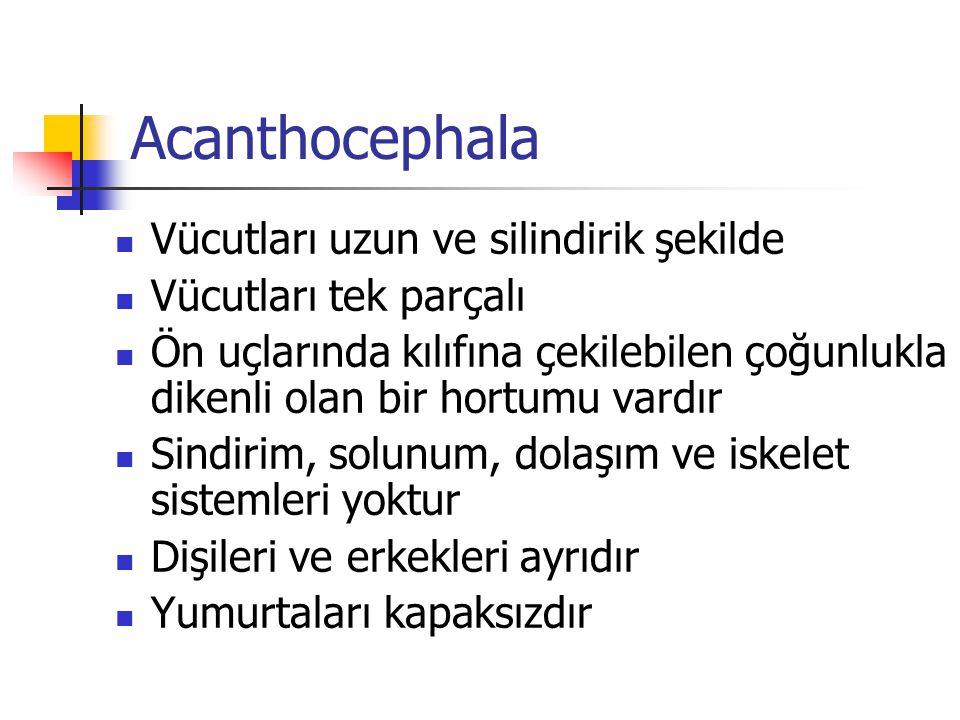 Acanthocephala Vücutları uzun ve silindirik şekilde