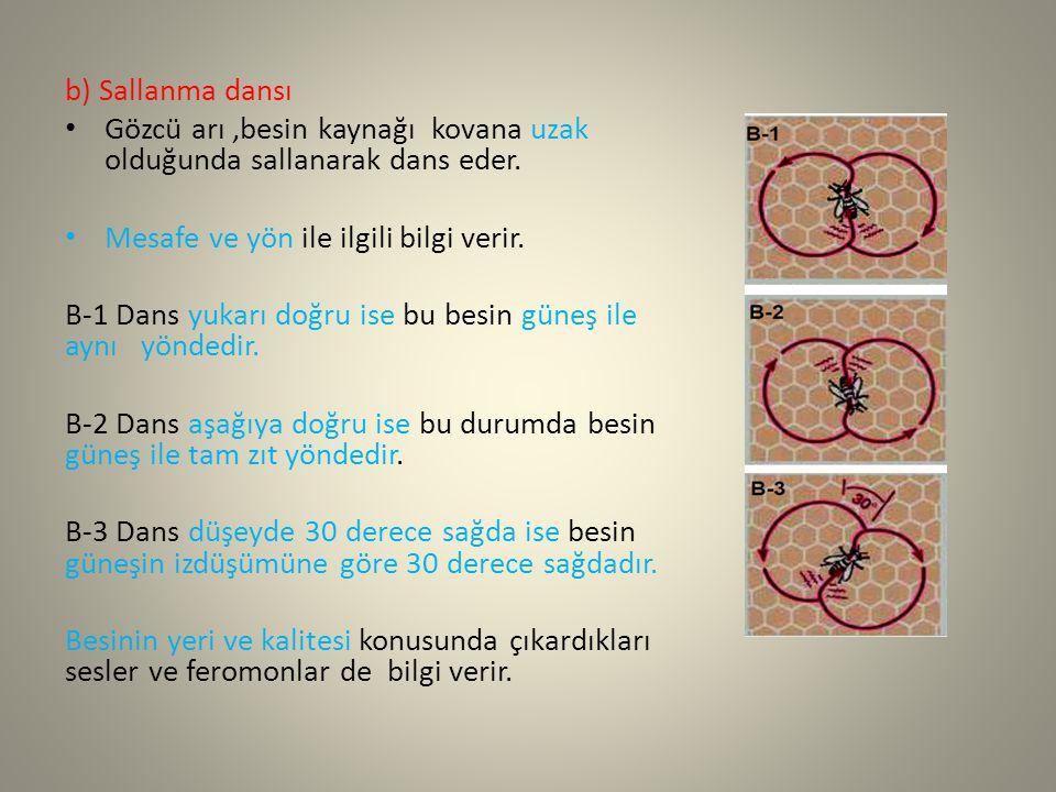 b) Sallanma dansı Gözcü arı ,besin kaynağı kovana uzak olduğunda sallanarak dans eder. Mesafe ve yön ile ilgili bilgi verir.