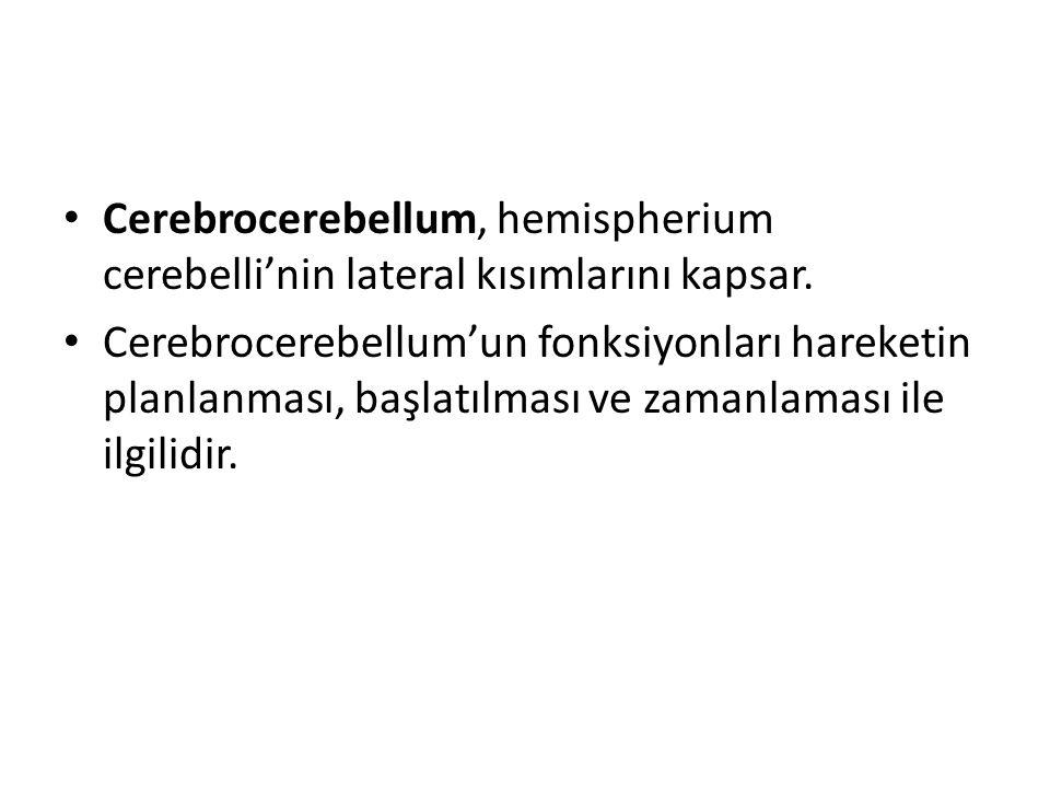 Cerebrocerebellum, hemispherium cerebelli'nin lateral kısımlarını kapsar.