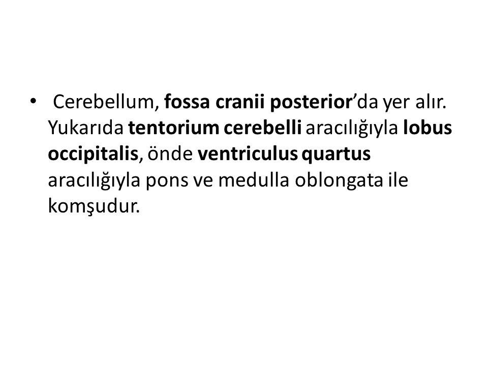 Cerebellum, fossa cranii posterior'da yer alır