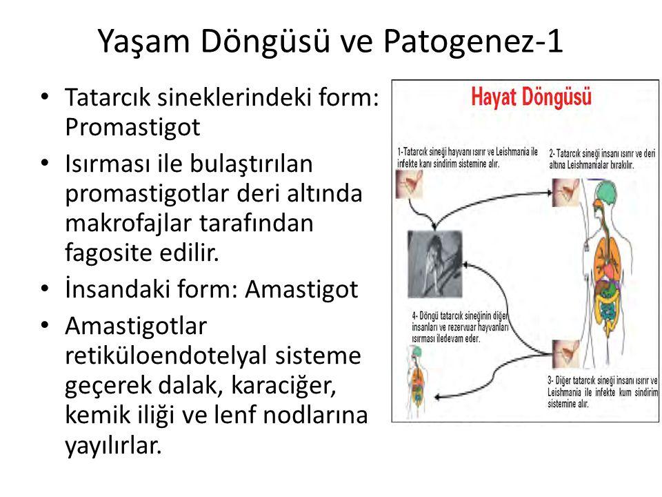 Yaşam Döngüsü ve Patogenez-1