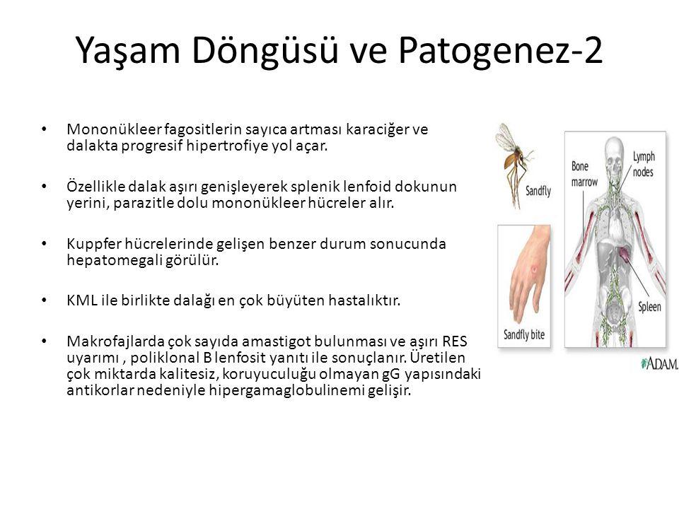 Yaşam Döngüsü ve Patogenez-2