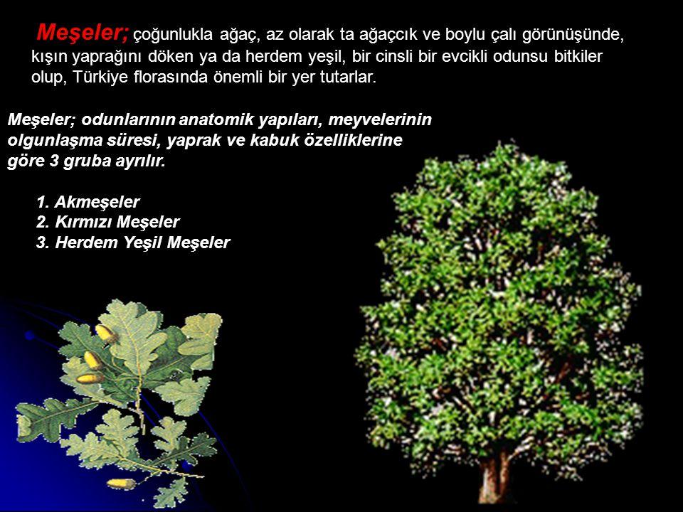 Meşeler; çoğunlukla ağaç, az olarak ta ağaçcık ve boylu çalı görünüşünde, kışın yaprağını döken ya da herdem yeşil, bir cinsli bir evcikli odunsu bitkiler olup, Türkiye florasında önemli bir yer tutarlar.