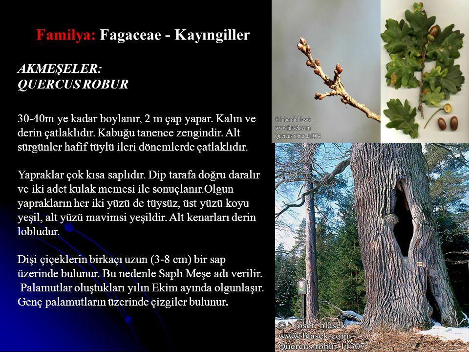 Familya: Fagaceae - Kayıngiller