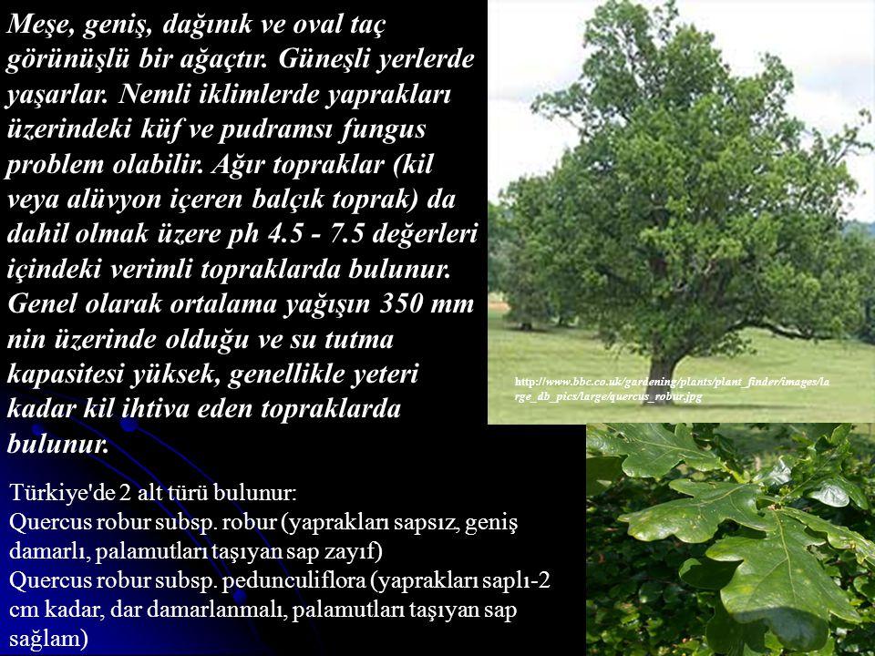Meşe, geniş, dağınık ve oval taç görünüşlü bir ağaçtır