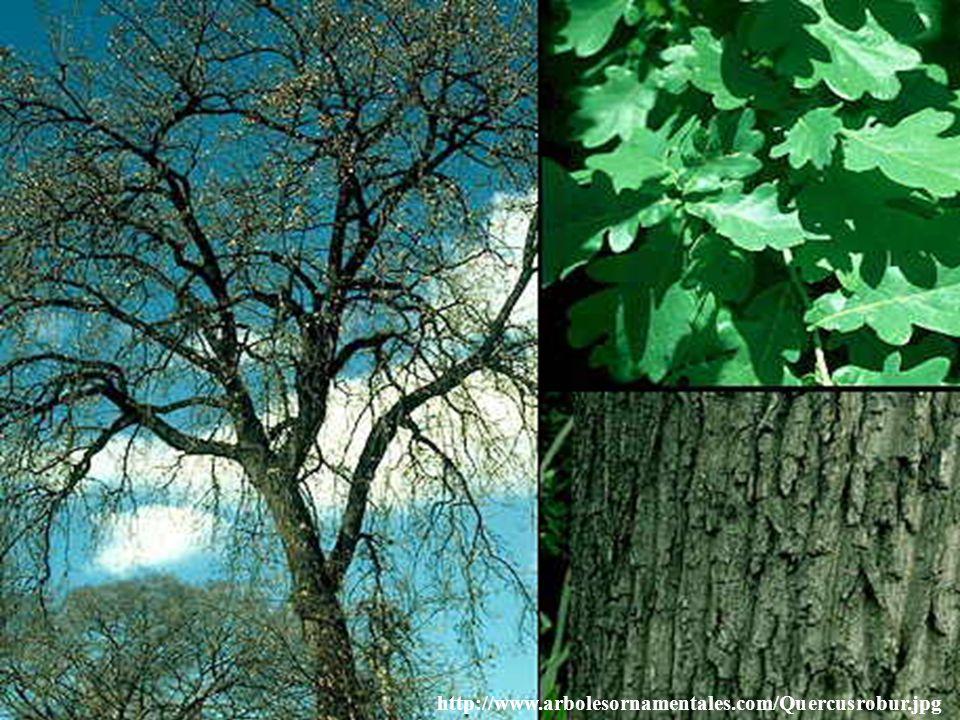 http://www.arbolesornamentales.com/Quercusrobur.jpg