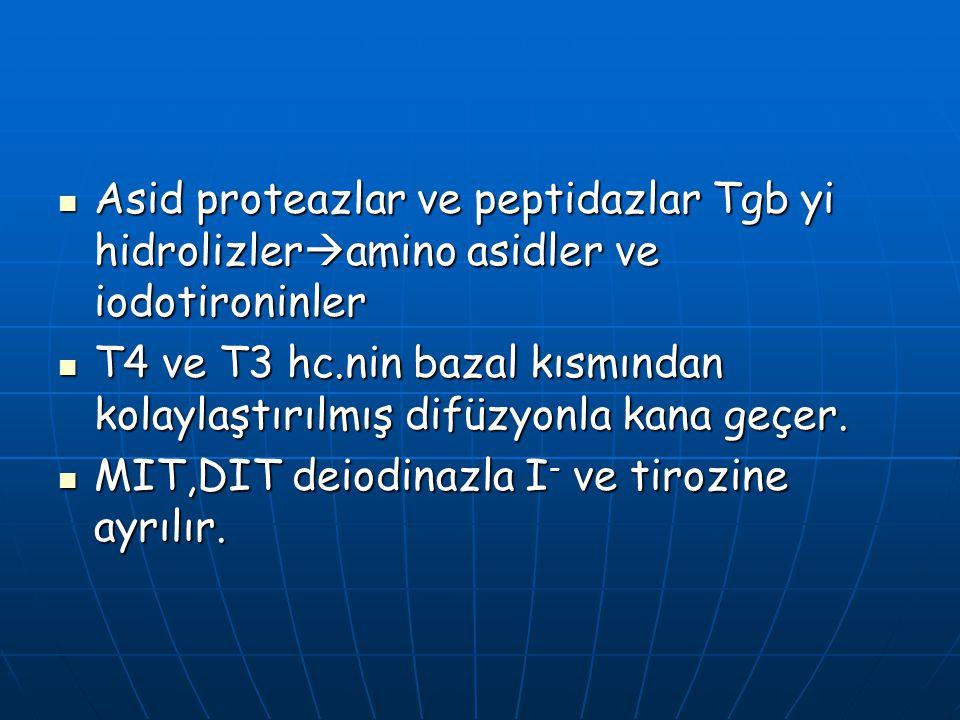 Asid proteazlar ve peptidazlar Tgb yi hidrolizleramino asidler ve iodotironinler