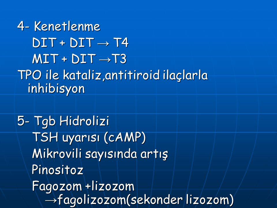 4- Kenetlenme DIT + DIT → T4. MIT + DIT →T3. TPO ile kataliz,antitiroid ilaçlarla inhibisyon. 5- Tgb Hidrolizi.