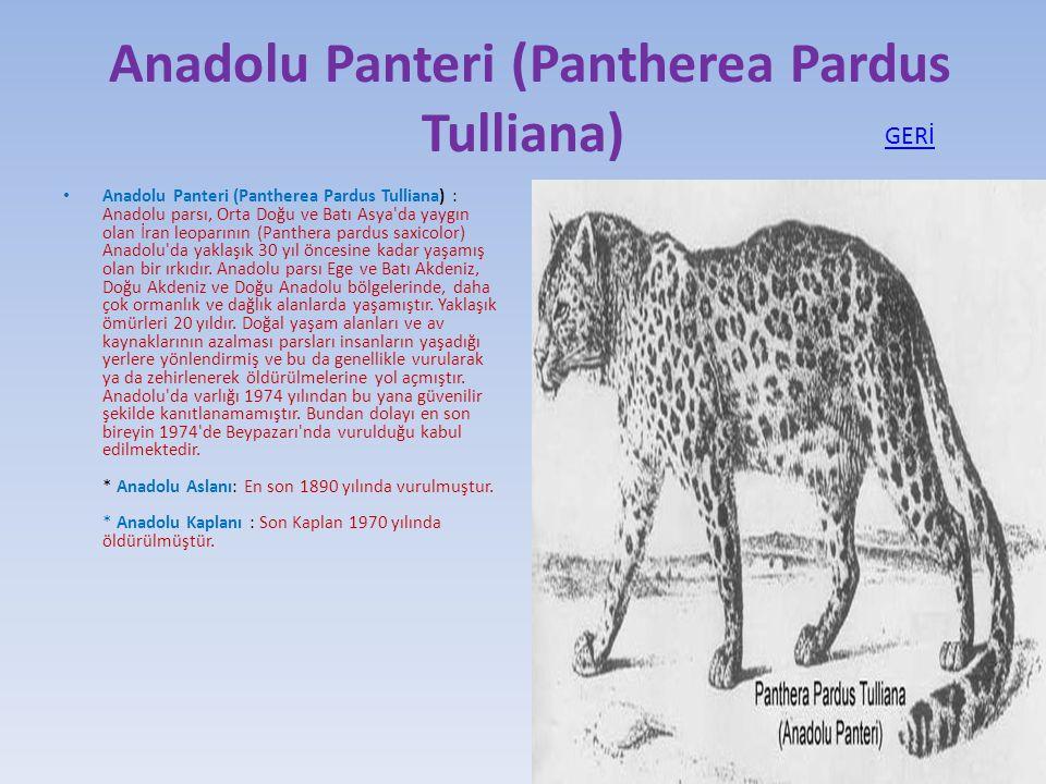 Anadolu Panteri (Pantherea Pardus Tulliana)