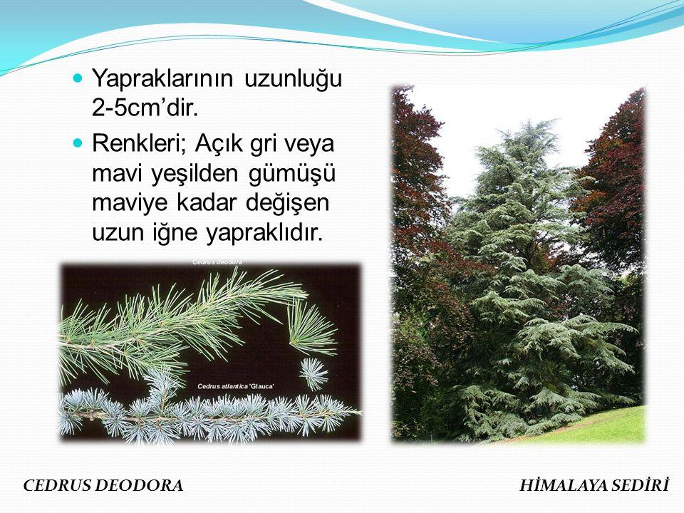 Yapraklarının uzunluğu 2-5cm'dir.