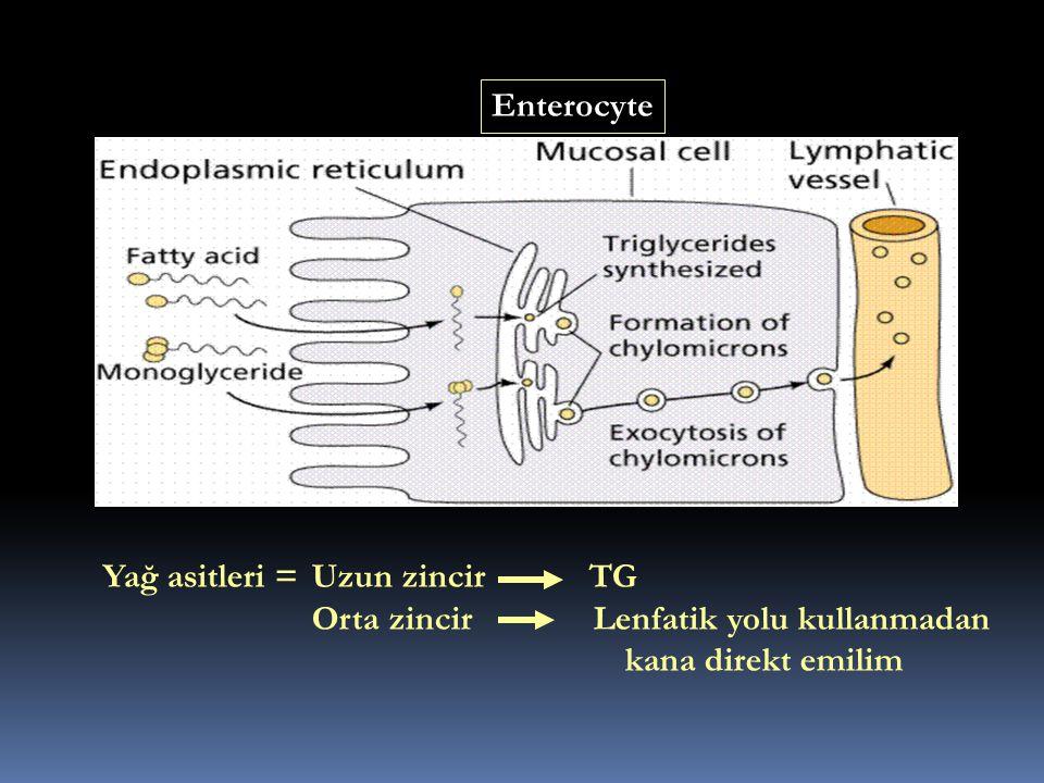 Enterocyte Yağ asitleri = Uzun zincir TG.
