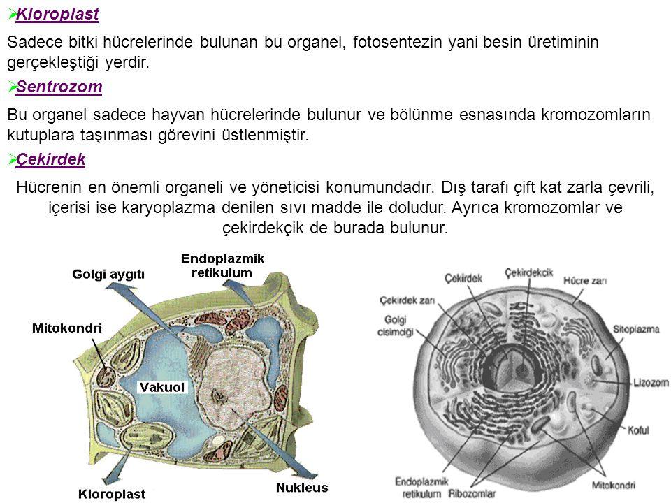 Kloroplast Sadece bitki hücrelerinde bulunan bu organel, fotosentezin yani besin üretiminin gerçekleştiği yerdir.