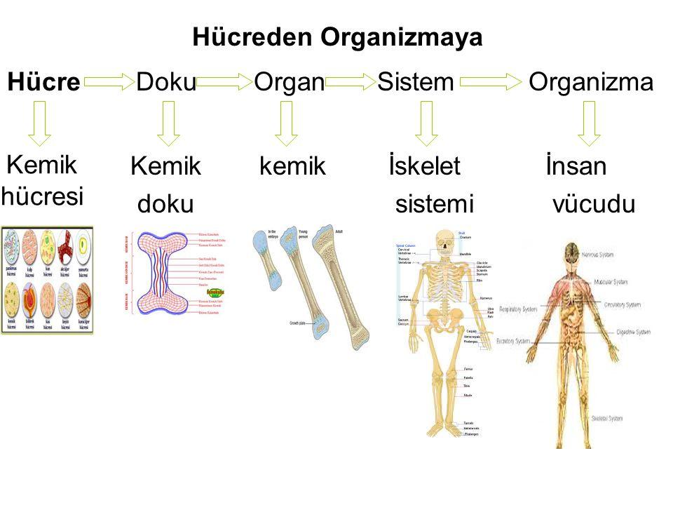 Hücreden Organizmaya Hücre. Doku. Organ. Sistem. Organizma. Kemik. doku. kemik. İskelet. sistemi.