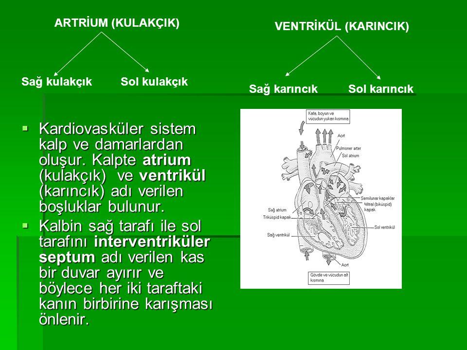 ARTRİUM (KULAKÇIK) VENTRİKÜL (KARINCIK) Sağ kulakçık. Sol kulakçık. Sağ karıncık. Sol karıncık.