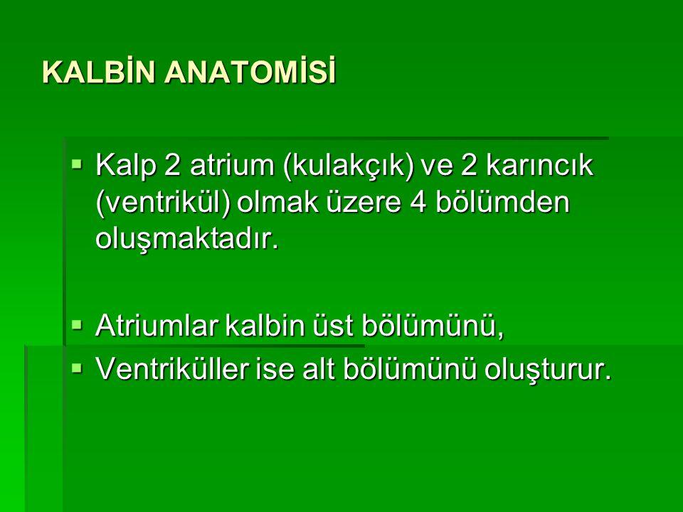 KALBİN ANATOMİSİ Kalp 2 atrium (kulakçık) ve 2 karıncık (ventrikül) olmak üzere 4 bölümden oluşmaktadır.