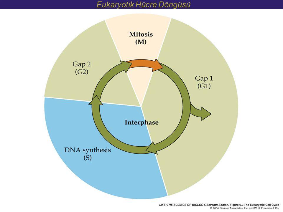 Eukaryotik Hücre Döngüsü