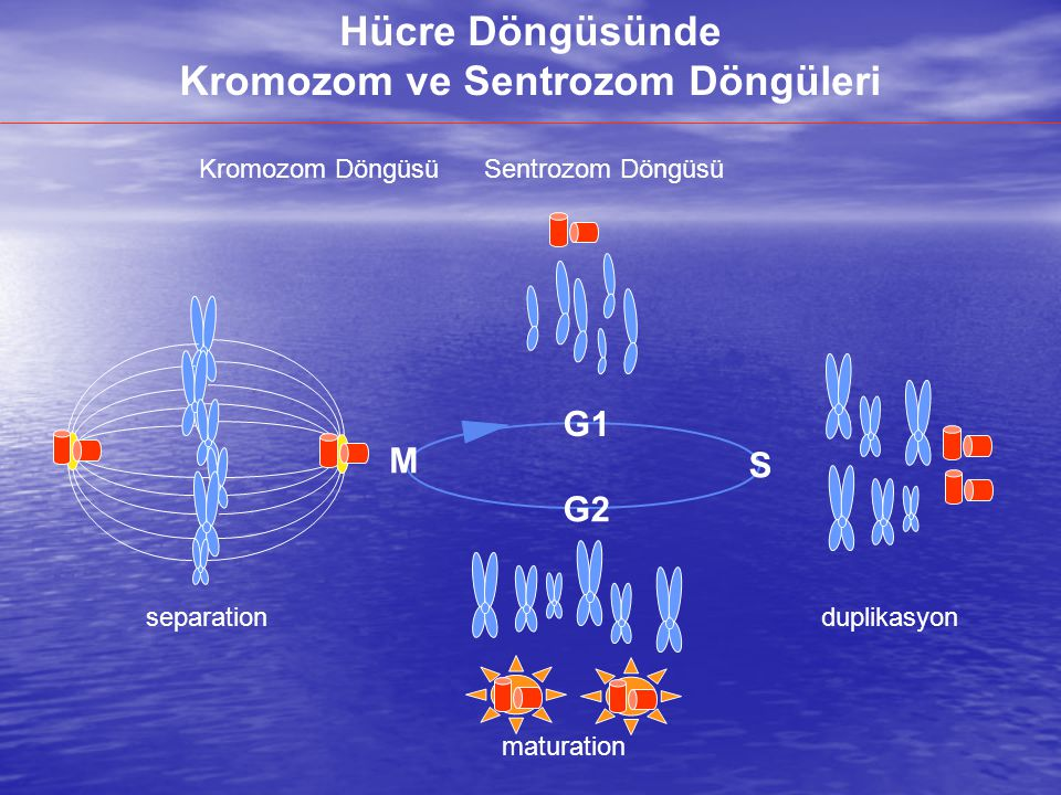 Kromozom ve Sentrozom Döngüleri
