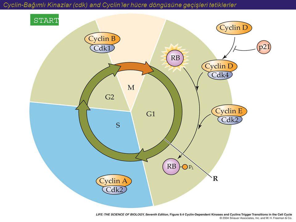 Cyclin-Bağımlı Kinazlar (cdk) and Cyclin'ler hücre döngüsüne geçişleri tetiklerler