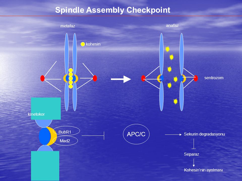 Spindle Assembly Checkpoint