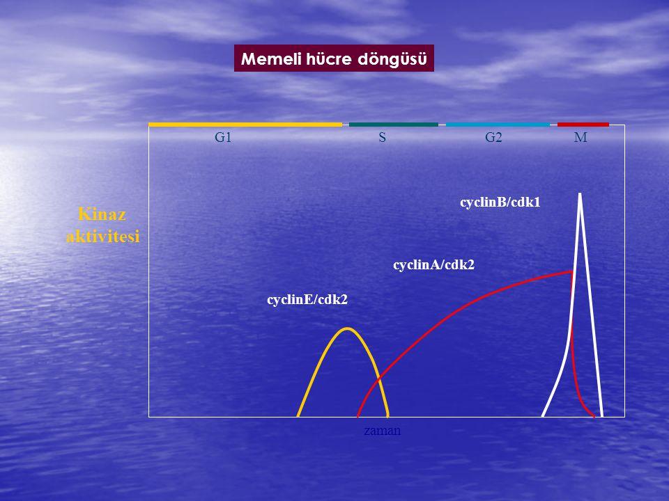 Kinaz aktivitesi Memeli hücre döngüsü zaman cyclinE/cdk2 cyclinA/cdk2