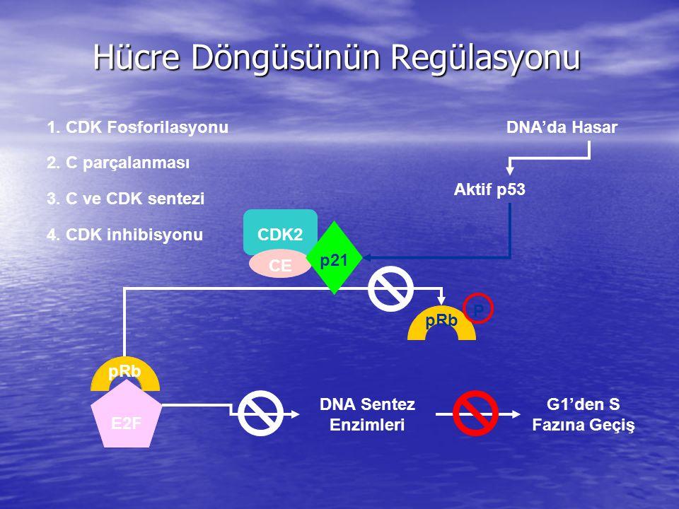 Hücre Döngüsünün Regülasyonu