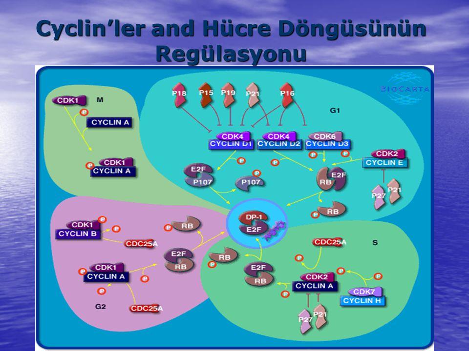 Cyclin'ler and Hücre Döngüsünün Regülasyonu