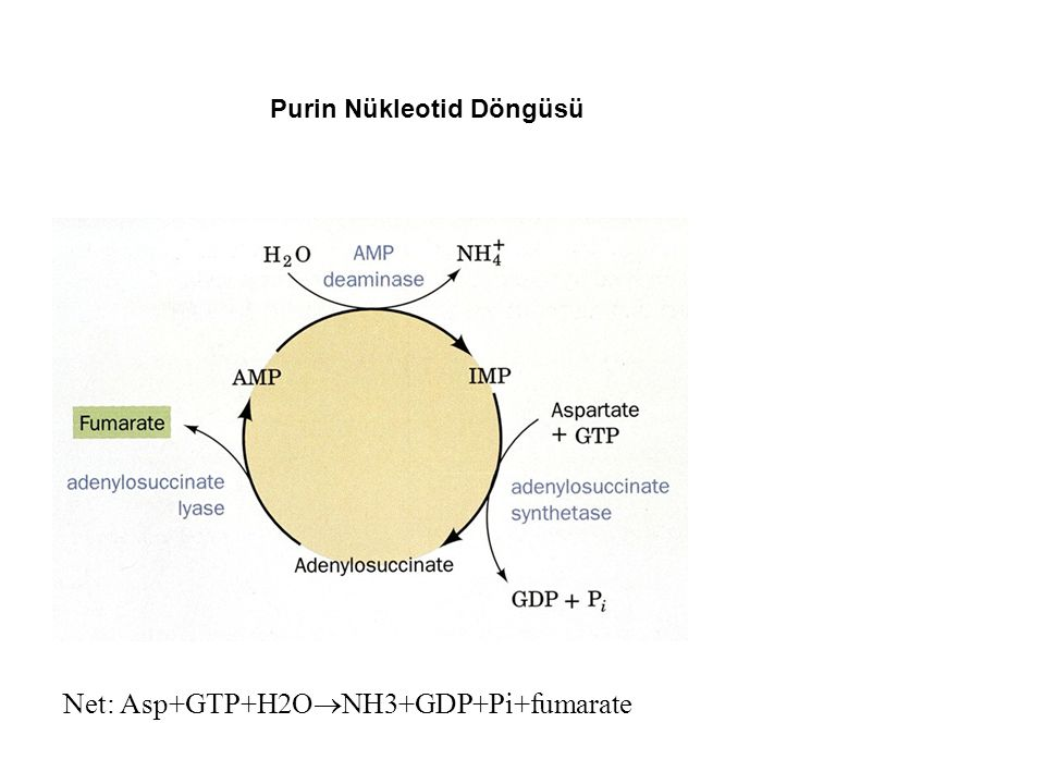 Net: Asp+GTP+H2ONH3+GDP+Pi+fumarate