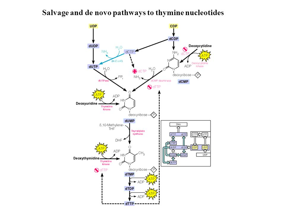 Salvage and de novo pathways to thymine nucleotides