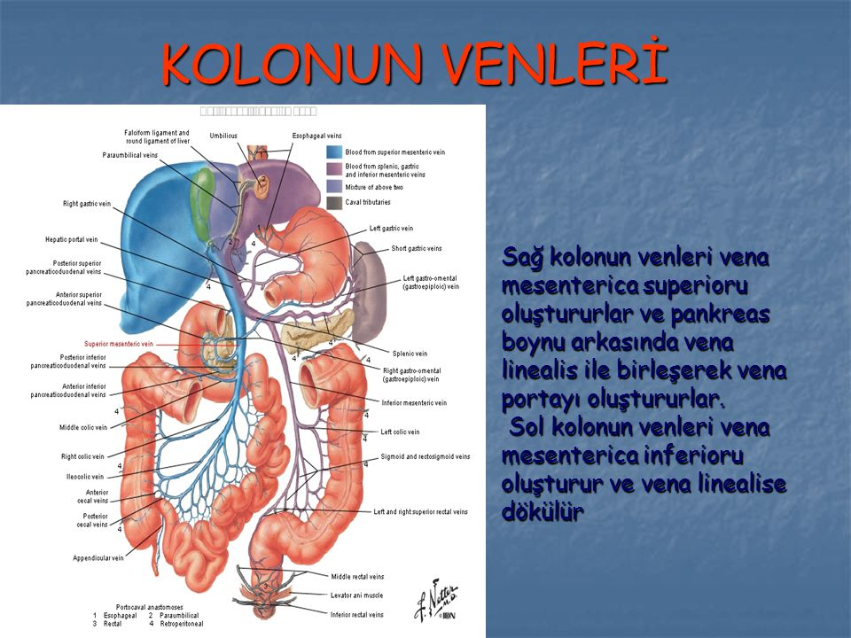 KOLONUN VENLERİ